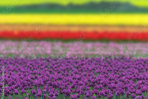 Aluminium Tulpen A colorful and magical landscape with a tulip field in Germany. Concept: landscape or agriculture