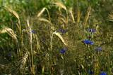 Blaue Kornblumen, Kornfeld