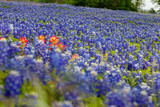 Texas Bluebonnets - 210908899