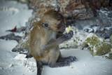 singe macaque - 210916264