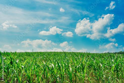Fotobehang Groene Green field with corn. Blue cloudy sky.