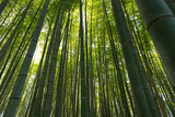 Bamboo grass stalk plants stems growing in dense forest as a peaceful green background - 210922892