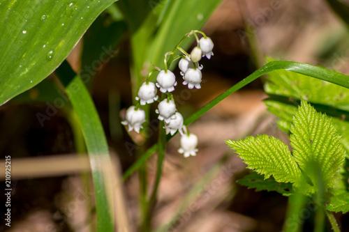 Fotobehang Lelietjes van dalen White flowers of lily of the valley (Convallaria majalis)