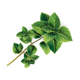 Mint on white background - 210940651