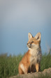 Little fox pup looking up in the sky.