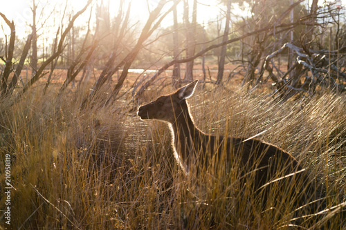 Fotobehang Kangoeroe A young kangaroo standing in the bush in Australian outback