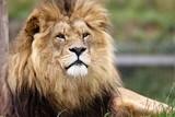 lion like Aslan  of narnia