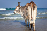 Cow take a sunbathe on the sea beach at Sri Lanka , Trincomalee.