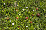 daisies flowers and apples in the grass