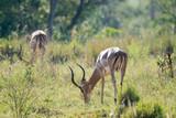 Impala beim Fressen in Afrika im Frühling - 211042699