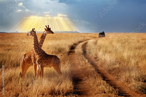Group of giraffes in the Serengeti National Park on a sunset background with rays of sunlight. African safari. Beautiful rays of light in the sky.