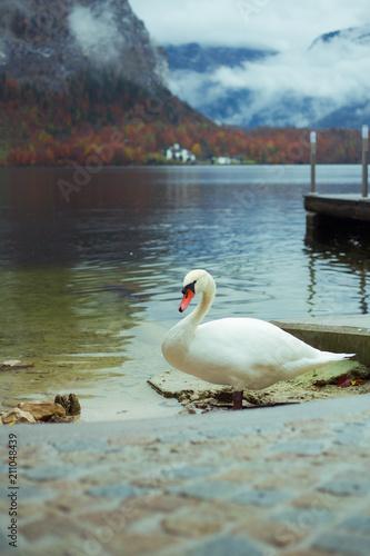 Łabędź niemy na brzegu jeziora