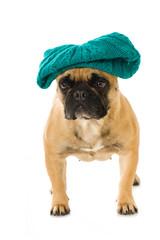 Französische Bulldogge mit Mütze isoliert auf weißem Grund