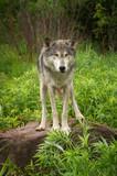 Grey Wolf (Canis lupus) About to Jump Off Rock © geoffkuchera