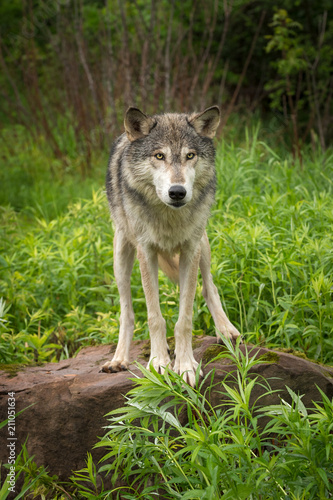 Grey Wolf (Canis lupus) About to Jump Off Rock - 211051634