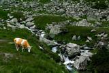 Beautiful cows graze on the green grass in the Carpathian mountains near the waterfall on Transfagarasan