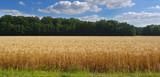 Weizenfeld im Sommer - 211059839
