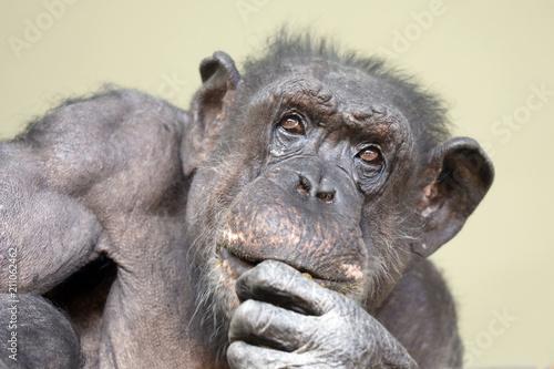 Aluminium Aap A chimpenzee portrait