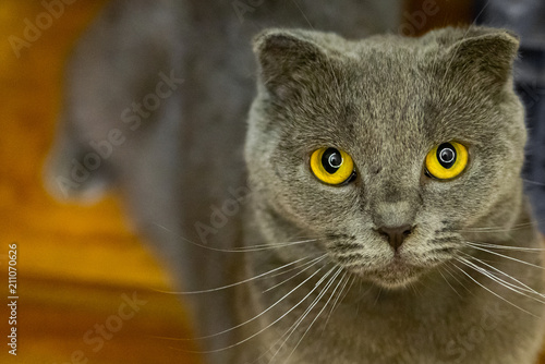 Fotobehang Kat British fold cat