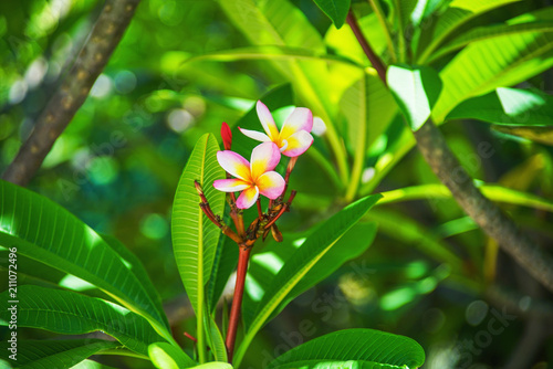 Fotobehang Plumeria blooming beautiful plumeria flower on tree