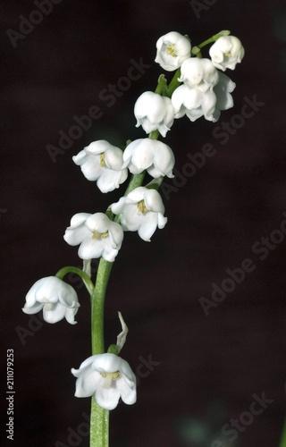 Fotobehang Lelietjes van dalen branch of flowering Lily of the valley, macro