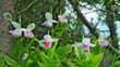 Showy Lady's-slippers - Cypripedium reginae - also known as Pink-and-white Lady's-slipper or the Queen's Lady's-slipper. Beautiful Minnesota State Flower - pink and white in authentic natural setting
