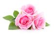 Beautiful pink roses. - 211085807