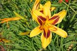 Lily flower in the garden