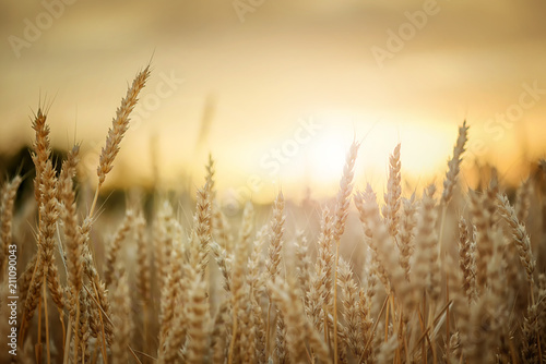Wheat in sunset - 211090043