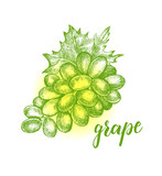 Ink hand drawn Bunch of ripe grapes. Vector illustration with brush calligraphy style lettering. Elements for design labels, packaging, cards. - 211093887