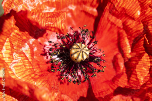 Plexiglas Rood Close Up Of Red Poppy