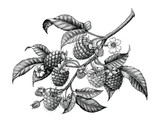 Raspberry branch hand drawing black and white vintage clip art isolated on white background