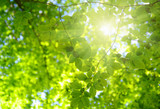 Green leaves and sun - 211108614