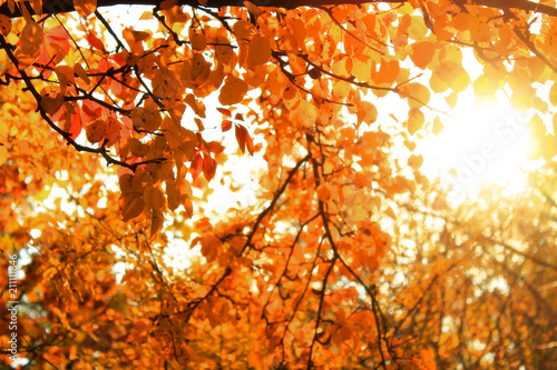 Autumn colorful bright trees  background. Bright leaves, copy space - 211111846