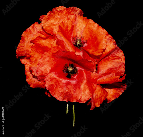 Fotobehang Rood traf. Red Poppies on A Black Background