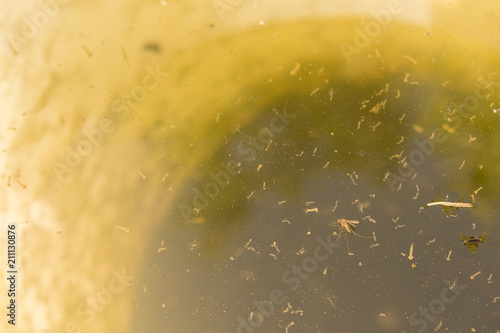 Dead mosquito on water surface with larvae. - 211130876