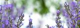 Lavendel - Panorama