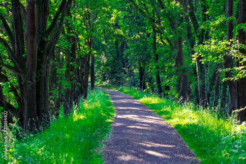 Fotobehang Groene Walkway Lane Path With Green Trees in Forest. Beautiful Alley, road In Park. Way Through Summer Forest