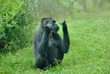 Gorilla im Zoologischen Garten Wilhelma in Stuttgart - 211146280