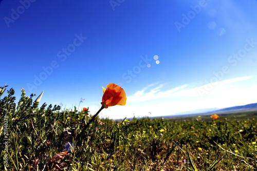 Fototapeta Flower in a field