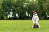 Jack Russell Terrier male. Dog is sitting on hind legs in front of green background on a meadow