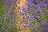 flourishing fields of lavender - 211160090
