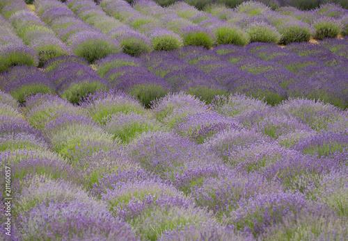Fotobehang Lavendel flourishing fields of lavender
