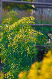Dill plant and flower as agricultural background. Yellow field of fresh green fennel - 211160213