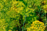 Yellow dill plant and flower as agricultural background sunset. Fresh green fennel - 211160459