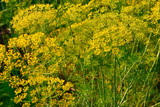 Yellow dill plant and flower as agricultural background sunset. Fresh green fennel - 211160683