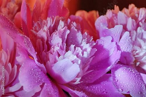 świeże różowe piwonie krople wody z bliska