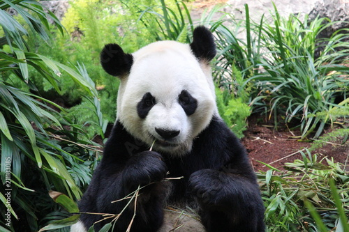Plexiglas Panda Panda eating Bamboo
