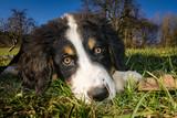 Berner Sennenhund Welpe - 211184427