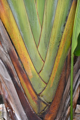 tropical herbaceous plant texture close-up bananas tree - 211189651